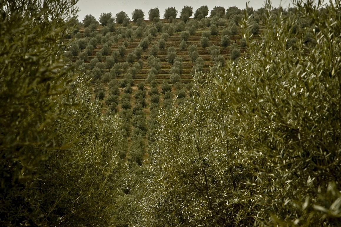 A oliveira é uma espécie resistente à seca